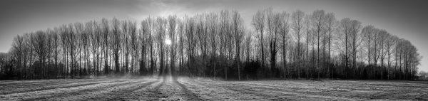 Poplars on a frozen morn